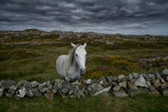 Lonely Connemara horse feeding on irish meadow. Royalty Free Stock Image
