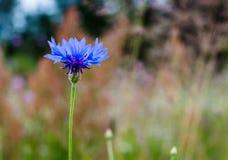 Summer wallpaper of blue cornflower, green grass on a background, rural field Stock Photos