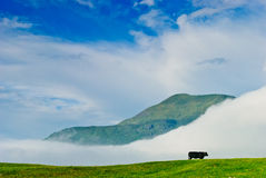 Lonely cow. Single cow on green medow under blue cloudy sky, in Connemara, Ireland Royalty Free Stock Photography