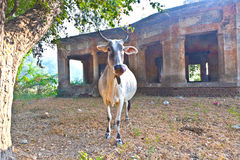 Lonely cow in an abandonned area Royalty Free Stock Images