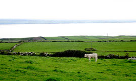 Lonely cow. An amazing irish meadow with a lake at the bottom stock image