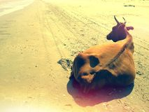 Lonely cow on beach. Lonely cow resting on a deserted beach in the summer heat royalty free stock photo