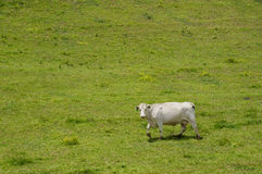 Lonely cow (Bos taurus)  in a field. Royalty Free Stock Photography
