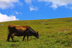 Lonely Cow On The Caucasus Mountain Grassland Royalty Free Stock Photos