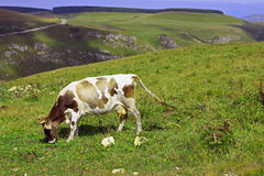 Lonely Cow On The Caucasus Mountain Grassland Stock Photography