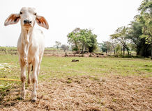 Lonely cow on the farm in summer time Stock Photos