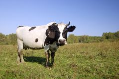 Lonely cow on the pasture. Lonely cow stands on the pasture and looking Stock Image