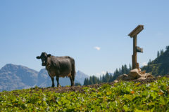 Lonely cow standing at the top of a hill Royalty Free Stock Photos