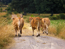 Lonely cows returning home. Five lonely brwon cows returning home by the road Royalty Free Stock Photo