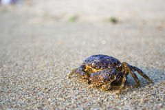 Lonely crab. An odd looking dark crab on a plain sea sand Stock Photo