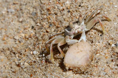 Lonely Crab Near A Shell In The Sand Royalty Free Stock Photos