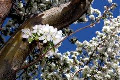 Lonely Crabapple Blossum. Single Blossum on Crabapple tree branch stock photos