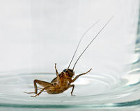 Lonely cricket in a beer mug. The lonely cricket creeps in a beer glass mug Royalty Free Stock Image