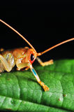 Lonely Crickets. Crickets rest at night on a green leaf Royalty Free Stock Photos