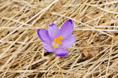 Lonely crocus on a wet spring meadow close up Stock Photos