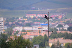 Lonely Crow. Sitting on antenna with blurry urban landscape in the background Royalty Free Stock Image