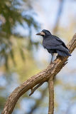 Lonely crow is sitting on a branch Stock Photos