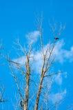 Lonely crow on winter tree Stock Photos