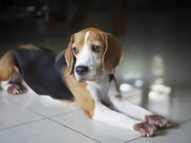 Lonely cute Beagle resting. royalty free stock photo