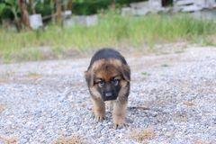 Lonely cutie German Shepherd puppy at outdoors home. Lonely cutie German Shepherd puppy at outdoors home . German Shepherd royalty free stock photo