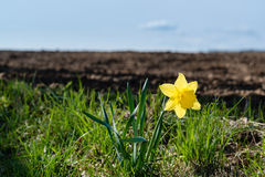 Lonely daffodil. One lonely daffodil at the border of a field in early spring Royalty Free Stock Photo