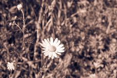 Lonely daisy against a grass of brown tone Stock Image