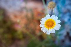 lonely daisy Stock Images