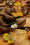 Lonely daisy in a field of autumn leaves Royalty Free Stock Photography