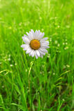 Lonely daisy flower Royalty Free Stock Photography