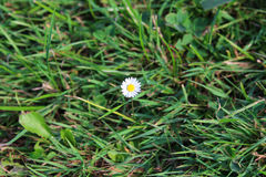 Lonely daisy flower Royalty Free Stock Photo