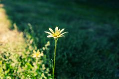 Lonely daisy Royalty Free Stock Images