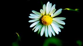 Lonely daisy in a huge field Royalty Free Stock Photography