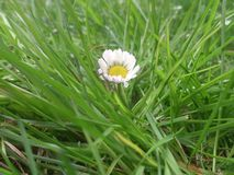 Lonely daisy lies somewhere in the grass. Lonely daisy which lies somewhere in the grass at the park Stock Image