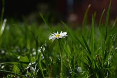 Lonely daisy. On the meadow Royalty Free Stock Photos