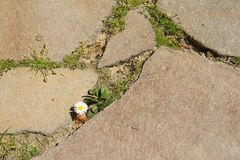 Lonely daisy in pavement Royalty Free Stock Image