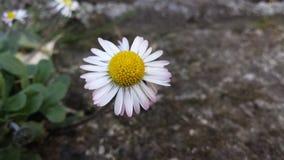Lonely daisy. Stock Photo