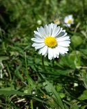 A lonely Daisy. A Daisy standing alone in the early Summer sun with a grassy background Royalty Free Stock Image