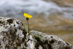 Lonely dandelion Stock Photography