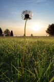 Lonely dandelion Royalty Free Stock Images