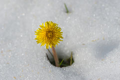 Lonely dandelion appearing from snow. After unexpected snowfall in Dnepr city, Ukraine Royalty Free Stock Photos
