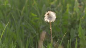Lonely dandelion close up at sunset.  stock video footage