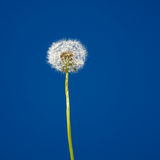 Lonely dandelion Stock Image