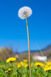 Lonely dandelion on grass field Royalty Free Stock Photo
