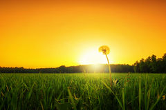 Lonely dandelion. On a grass field at sunset, low angle Stock Image