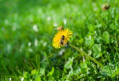Lonely dandelion Royalty Free Stock Photo