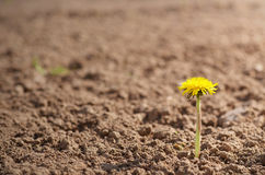 Lonely dandelion Stock Images