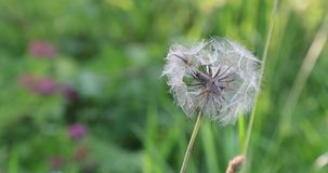 Lonely dandelion in the yard in the summer.  stock video footage