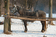 Lonely dappled mare in outdoor stall Royalty Free Stock Images