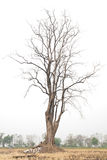 Lonely dead tree. Royalty Free Stock Images