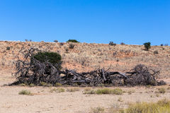 Lonely dead tree in an arid landscape Stock Photos